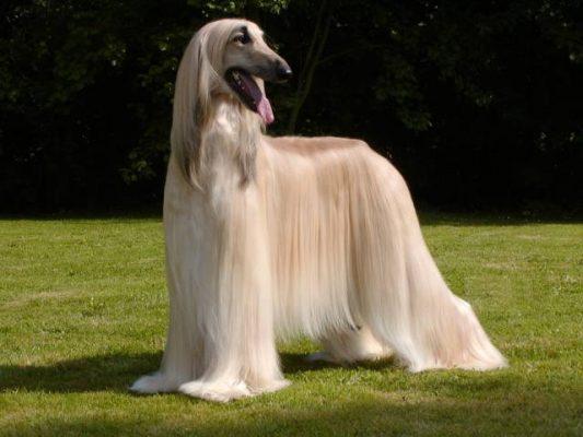 سگ تازی افغان | پرشین پت لند