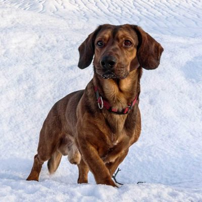 سگ داشبرک آلپین | پرشین پت لند