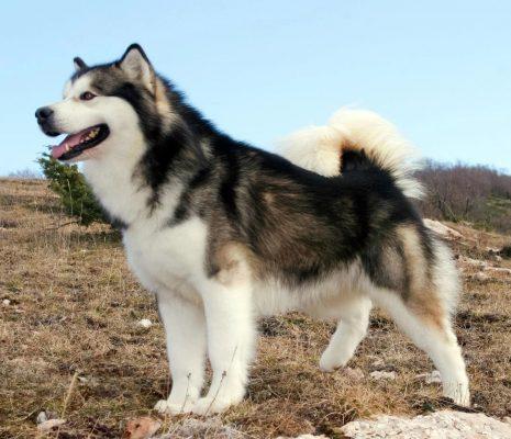 سگ مالاموت آلاسکایی | پرشین پت لند