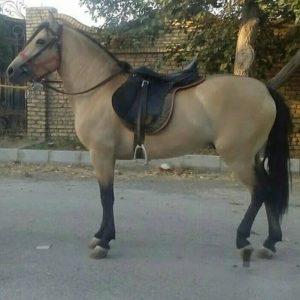 اسب پونی پرشی | ایران چکاوک