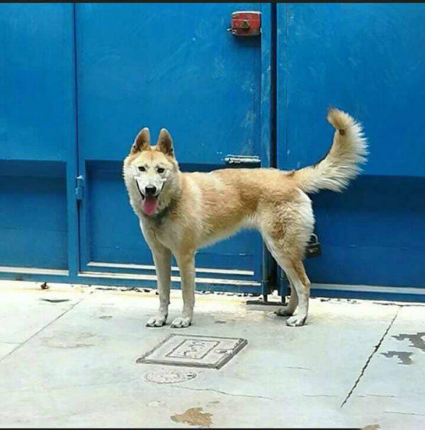 سگ هاسکی | ایران چکاوک