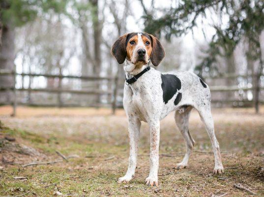 سگ کونهوند آمریکایی | ایران چکاوک