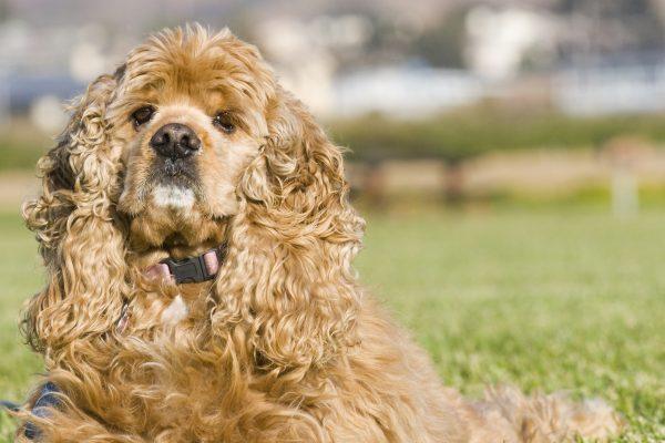سگ کوکر اسپانیل | پرشین پت لند