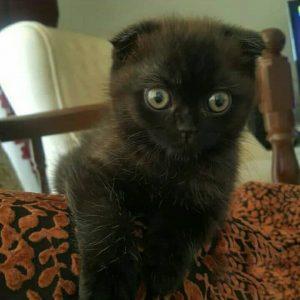 گربه اسکاتیش | پرشین پت لند