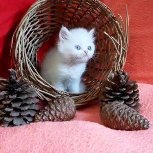 گربه پرشین | پرشین پت لند
