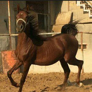 فروش اسب | ایران چکاوک