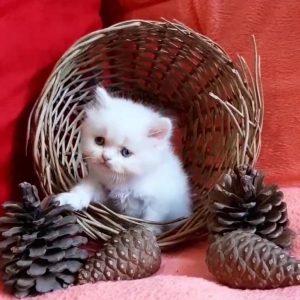 گربه پرشین | ایران چکاوک