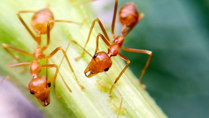 مورچه   پرشین پت لند