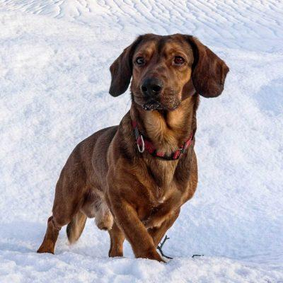سگ داشبرک آلپین   پرشین پت لند