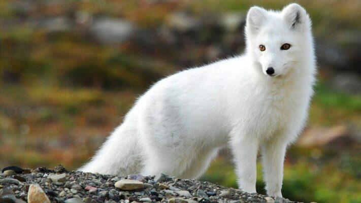 روباه قطبی | پرشین پت لند