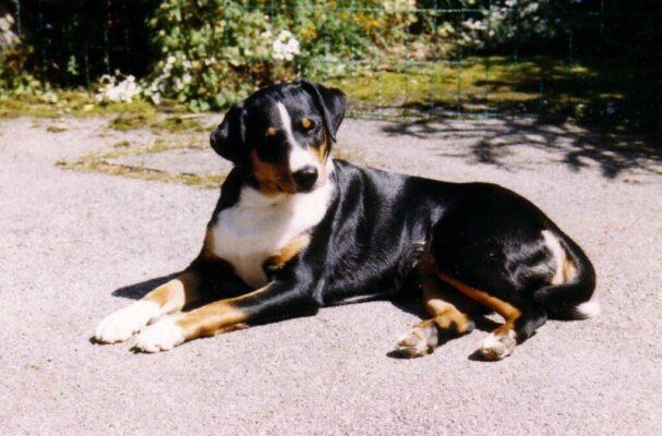 سگ اپنزلر | پرشین پت لند
