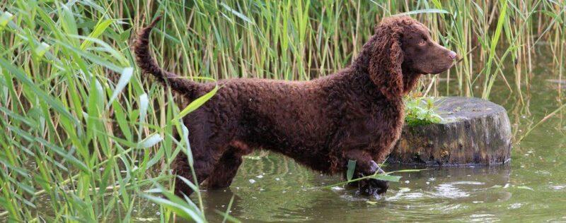 سگ اسپنیل آبی آمریکایی | پرشین پت لند